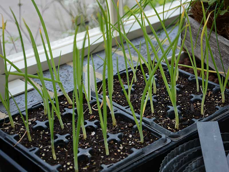 Småplantor av förkultiverad purjolök