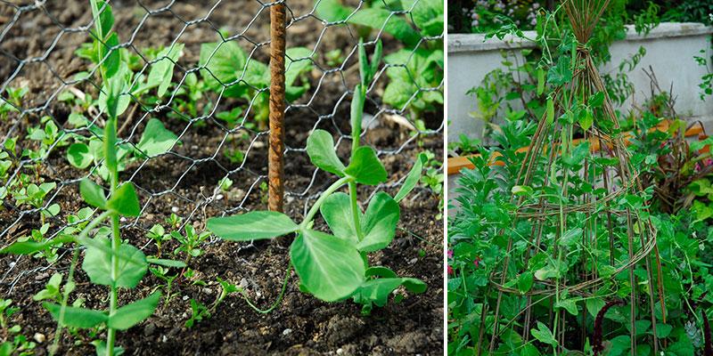 Odling av sockerärter med klätterstöd av hönsnät och wigwam