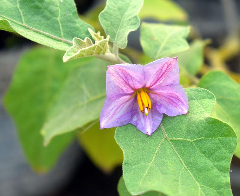 Blomma på auberginplanta