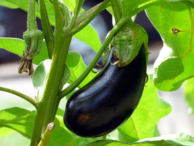 Odling av aubergin äggplanta
