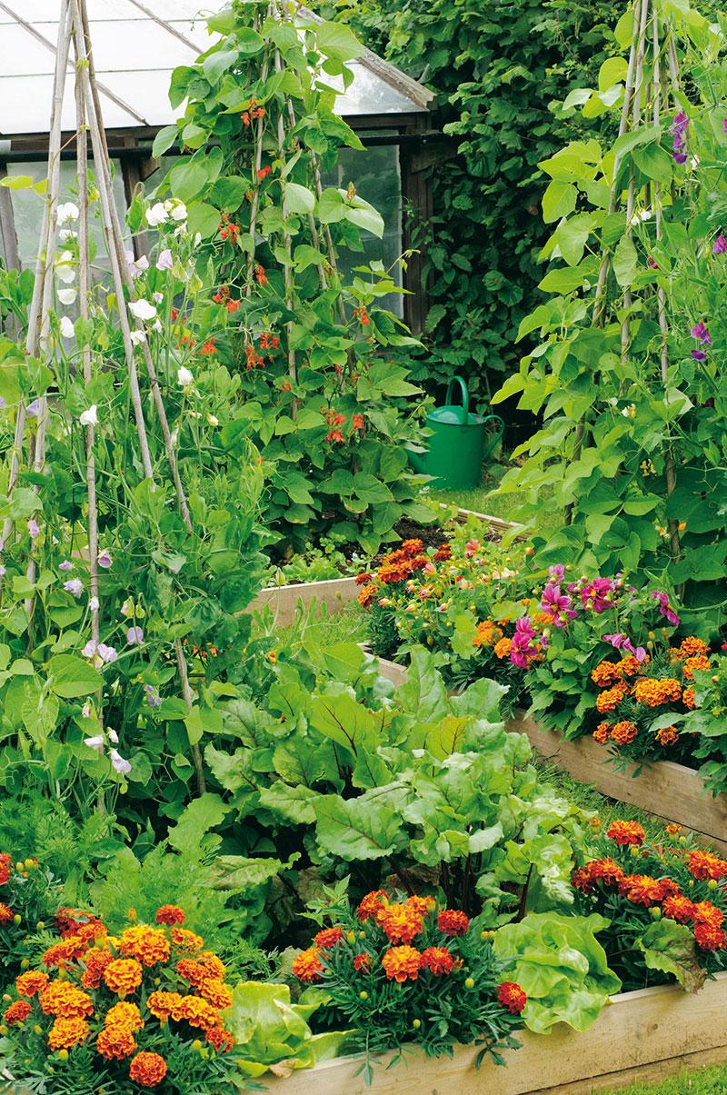 odling av bönor och ärter i pallkrage och köksväxtland