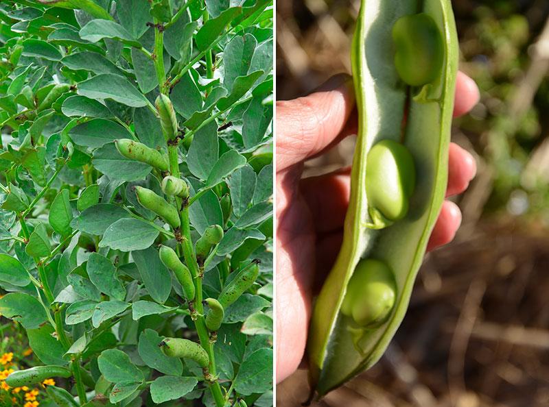 Odling och skörd av bondböna Vicia faba