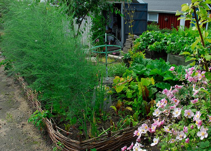 Odling av sparris fleråriga köksväxter kolonilott