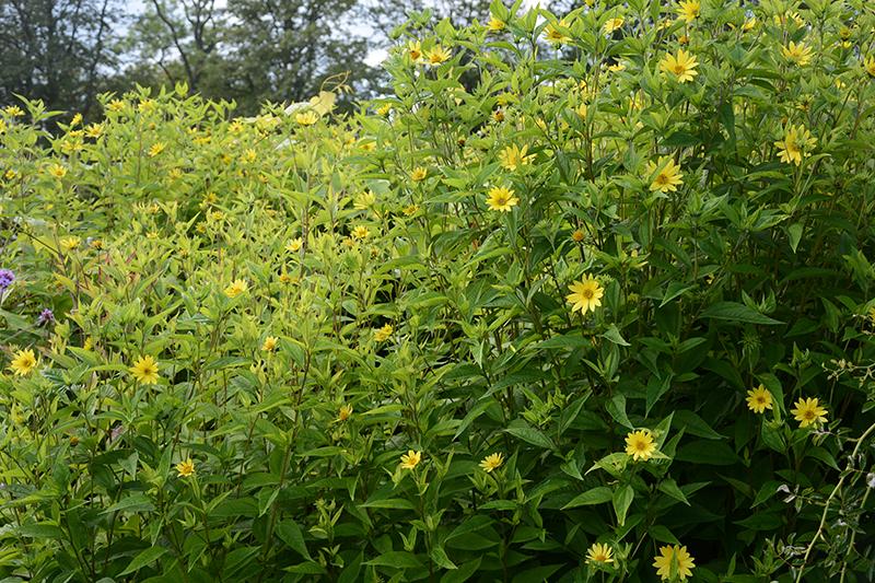 Blommande jordärtskocka