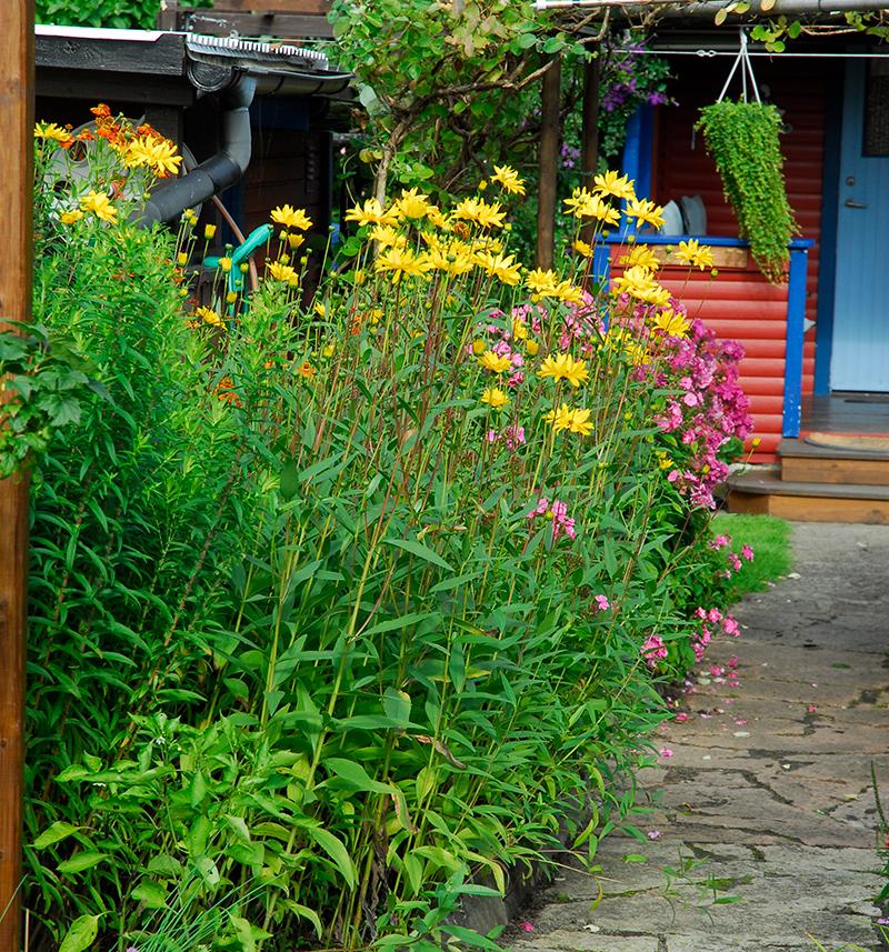 Odling av jordärtskockor i trädgården