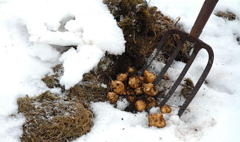 Skörd av jordärtskockor på vintern under snö