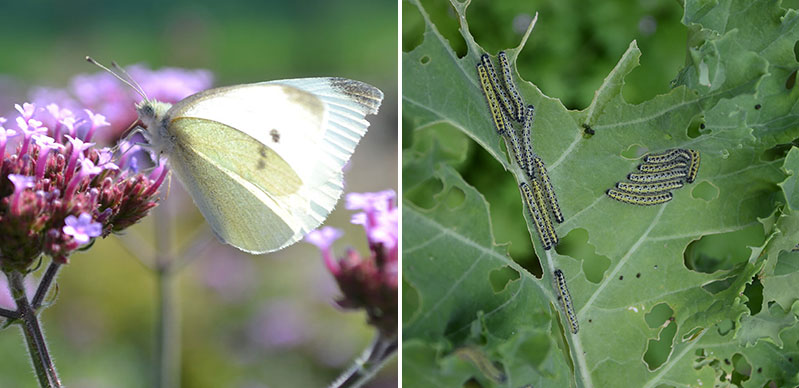 Larv och fjäril av kålfjäril