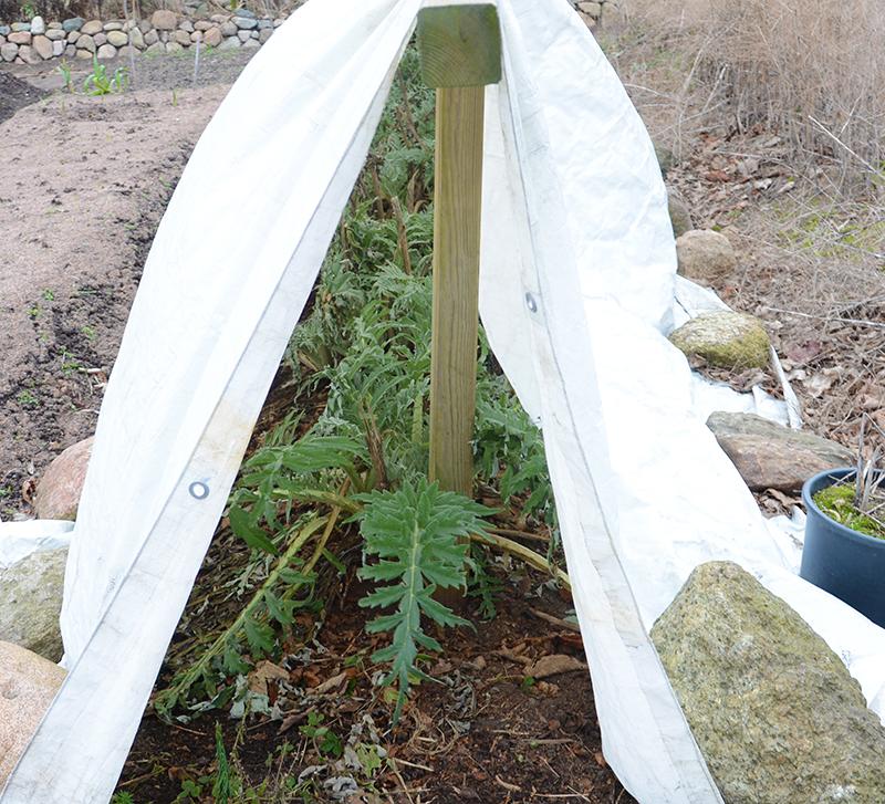 Vinterskydd med fiberduk av kronärtskocka