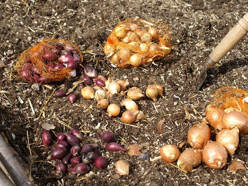 sättlök av rödlök och gul lök för plantering i köksträdgård