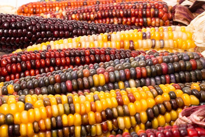 Olika färger och sorter av majs