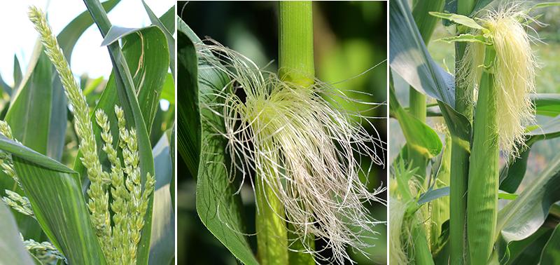 Blommor och kolv av majs