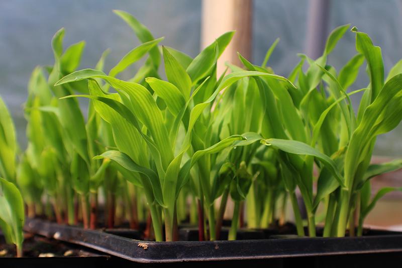 Majsplantor för utplantering