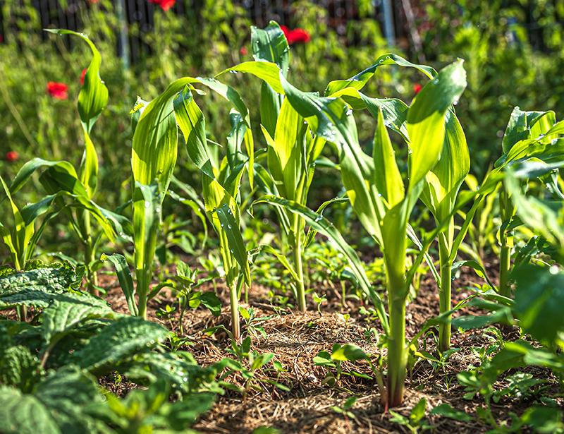 Täckodling av majs i trädgård