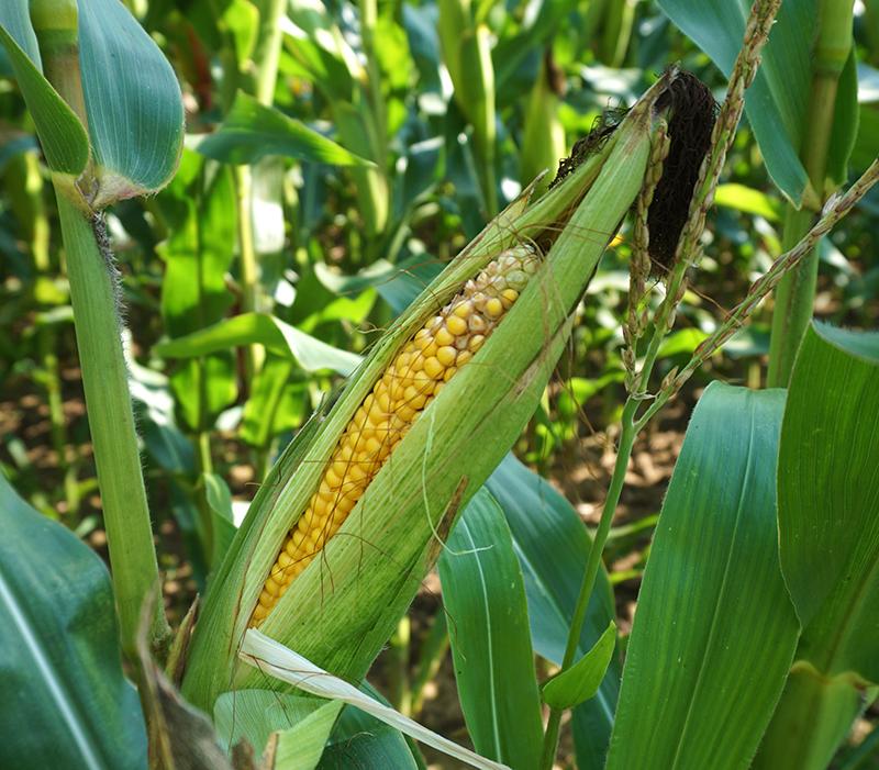 Skördeklar majs i odling