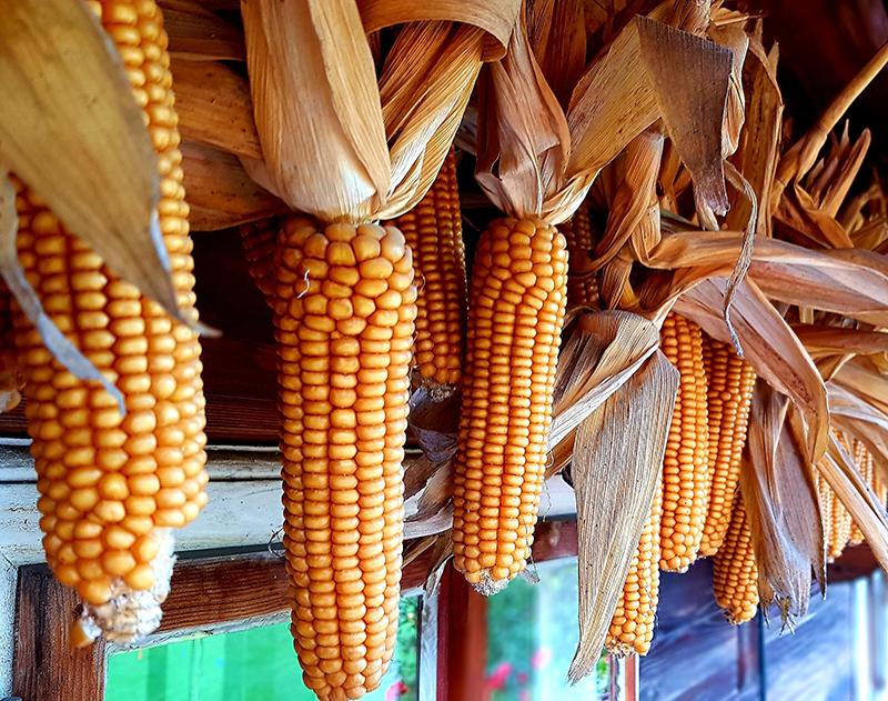 Torkning av majskolvar till popcorn