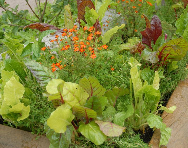 Mangold olika sorter odlad i pallkrage med tagetes