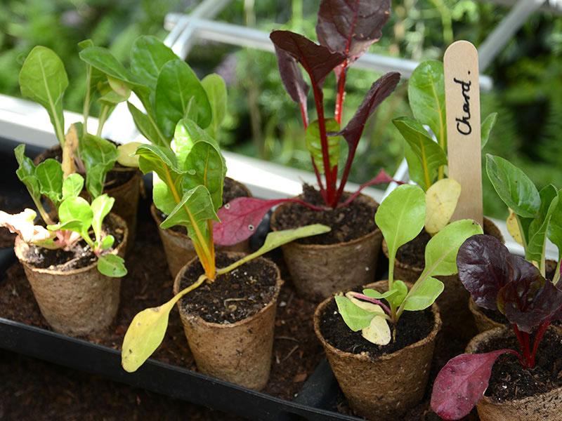 Småplantor av olika sorter av mangold