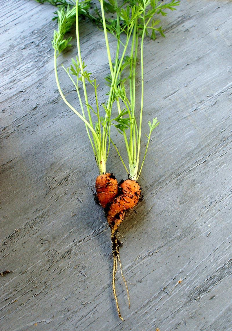 Roligt formade morötter som kramas