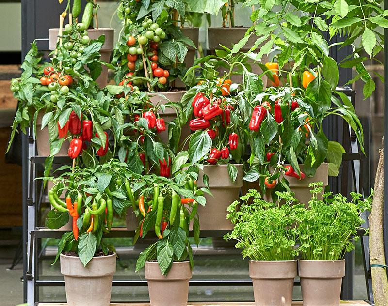 Paprika och tomatplantor