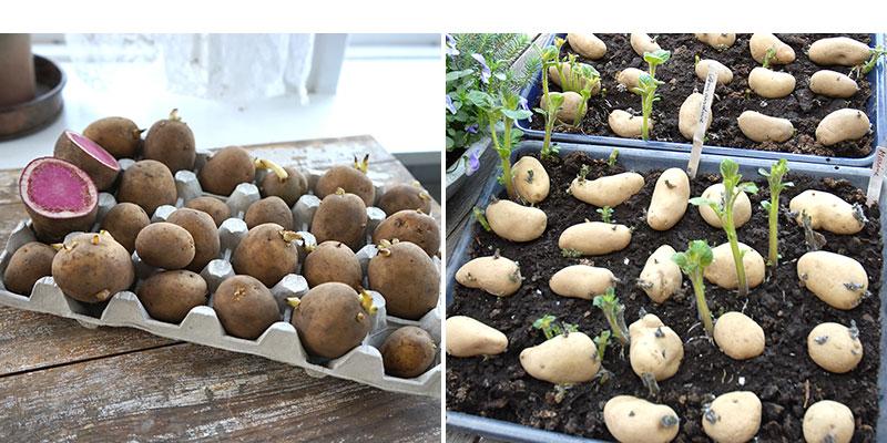 groning av potatis i äggkartong och i långpanna med torv