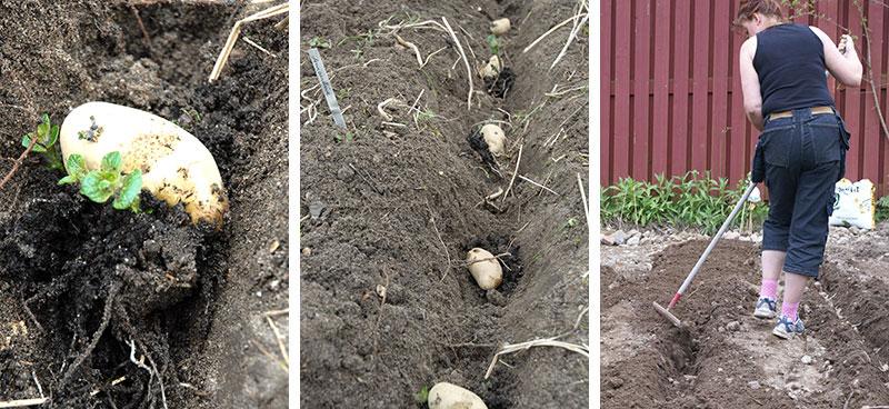 Plantering av potatis i fåror i kökslandet