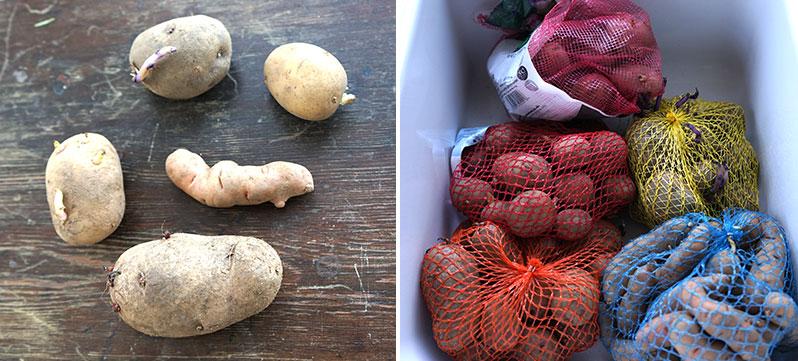 olika sorter av sättpotatis med grodd till att förgro