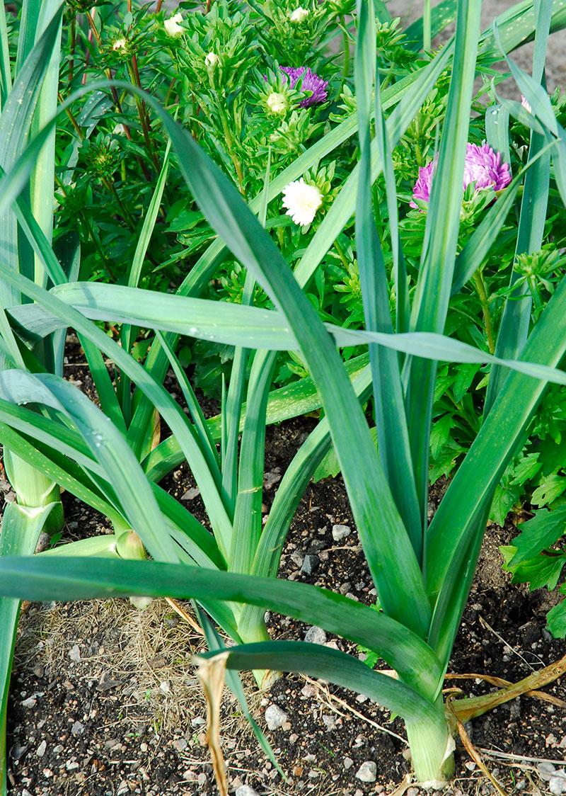 purjolök i odling med blommor