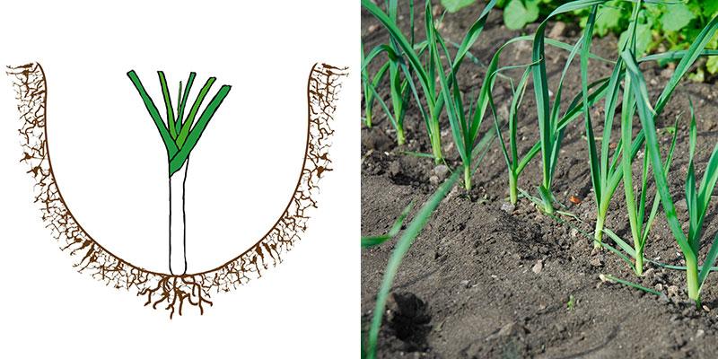 purjolök planterad i fåra på friland med illustration