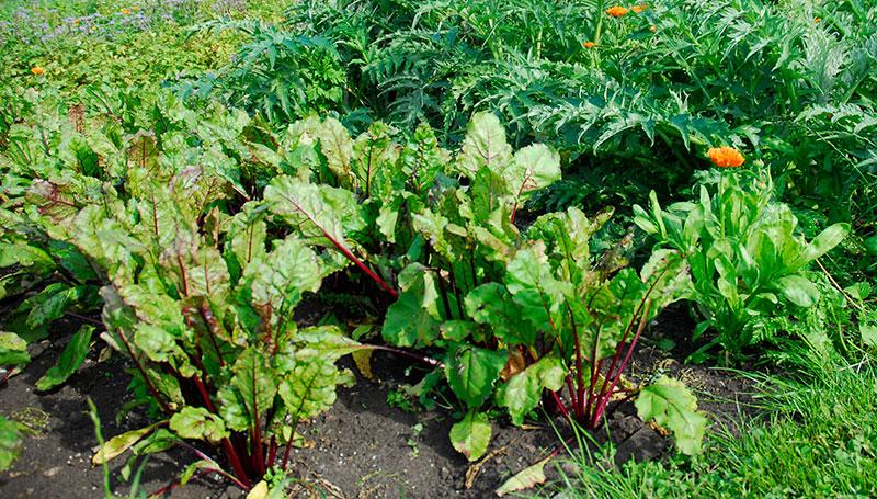 Rödbetor odlade i köksträdgård