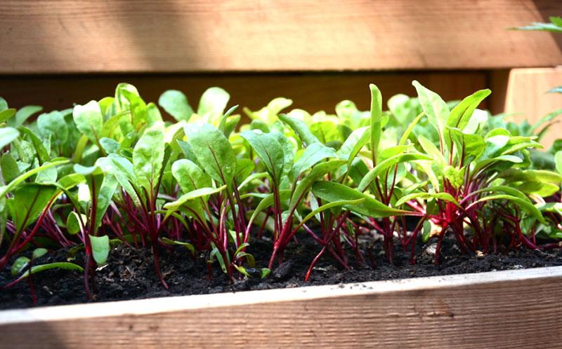 odling av rödbetsblad som småblad babyleaf
