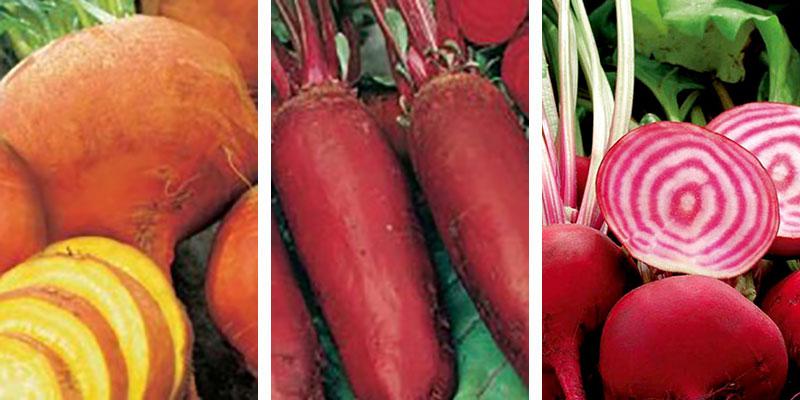 olika sorter av rödbeta gulbeta Cylindra Chioggia