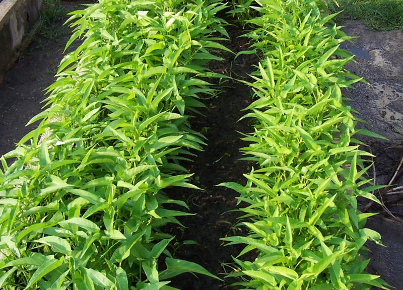 Odling av sallatsipomoea, vattenspenat, kinesisk spenat i upphöjd bädd