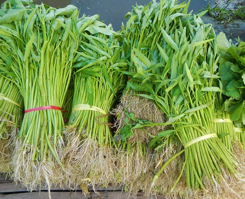 Skörd av sallatsipomoea kinesisk spenat vattenspenat