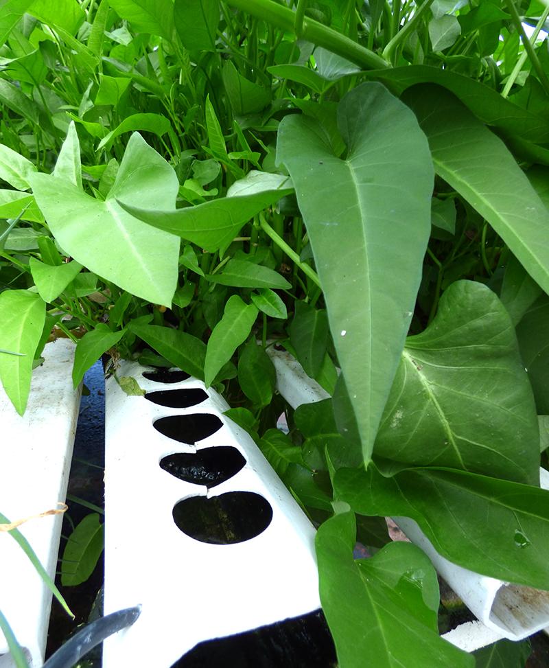 Odling av sallatsipomoea kinesisk spenat vattenspenat i hydrokultur