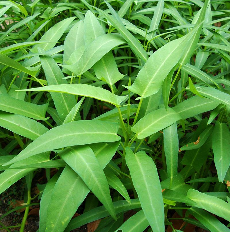 Sallatsipomoea kinesisk spenat vattenspenat i odling