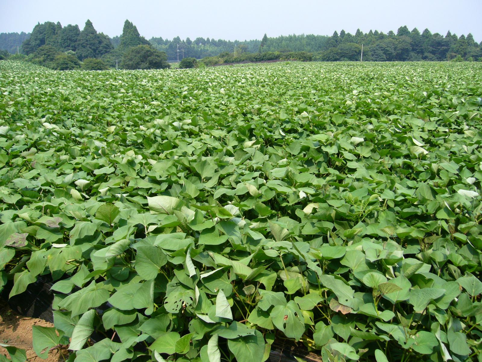 Odling av sötpotatis i Japan