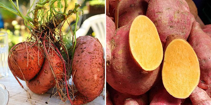 Skörd och tillagning av sötpotatis