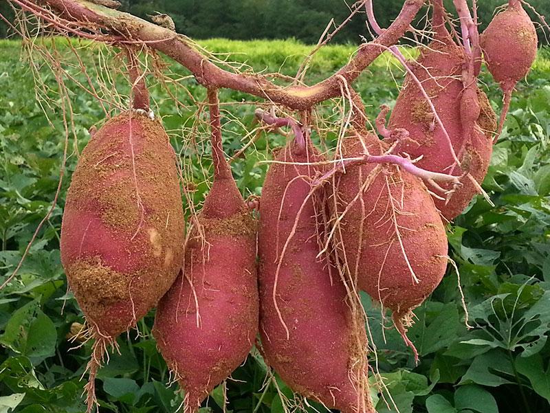 Skörd av sötpotatis