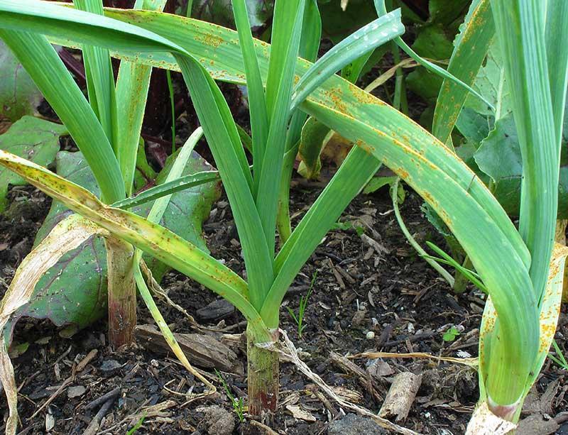 Rost bladsvamp på vitlök blast
