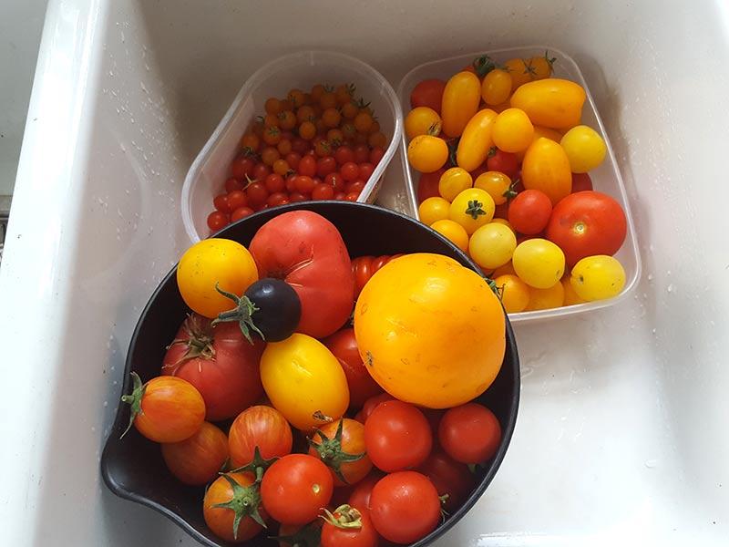Nyskördade tomater av olika slag och olika färger