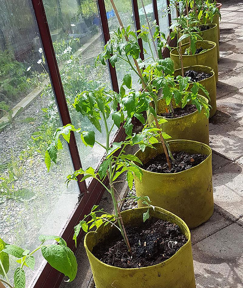 Tomatplantor odlas i odlingssäckar i växthus