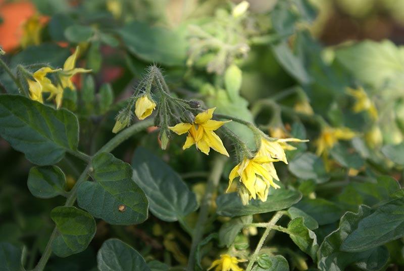 Tomatplanta med mängder av gula blommor