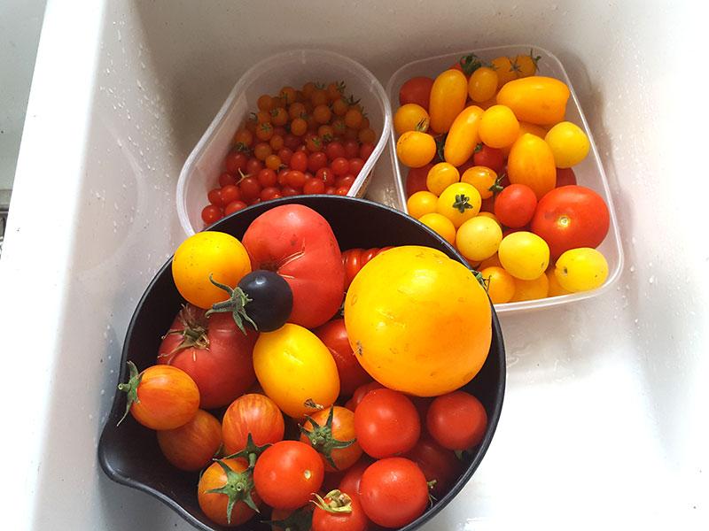 Tomater i olika färg, storlek och form
