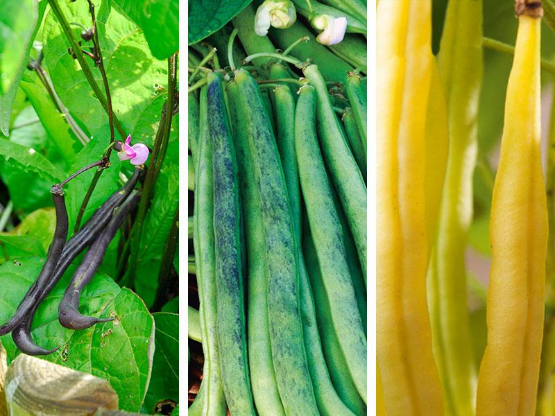 Olika sorter av trädgårdsbönor purpurböna, vaxböna och skärböna.