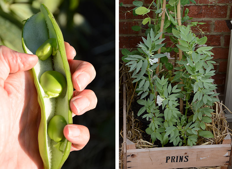 odling och skörd av bondböna i kruka