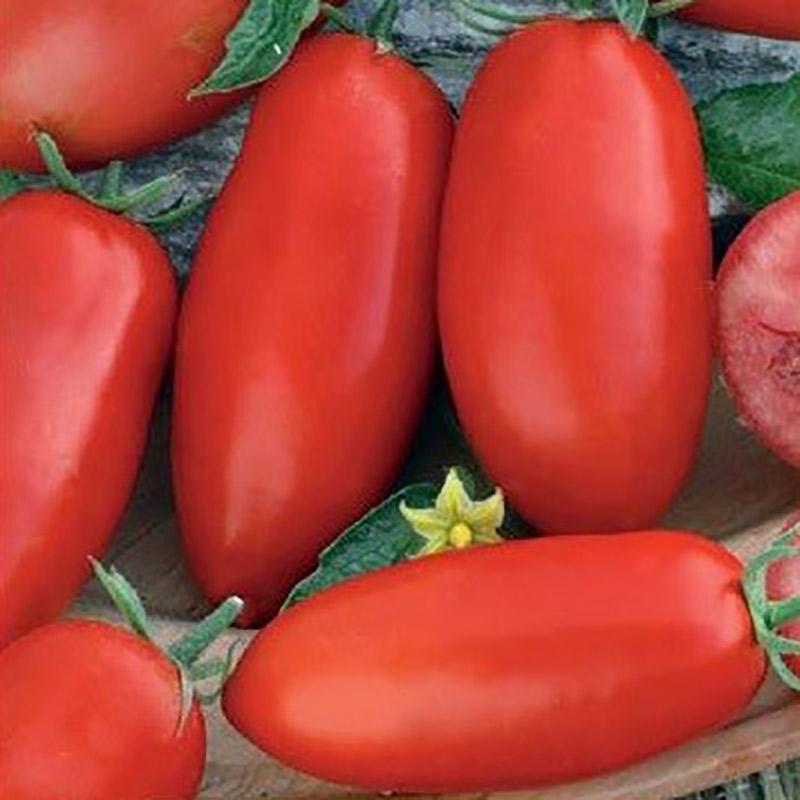 tomat zyska stor busktomat