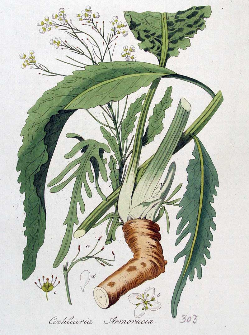 Botanisk illustration av pepparrot