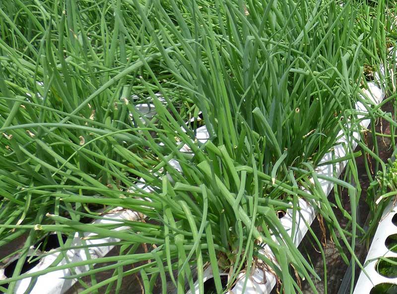Odling av salladslök i hydrokultur