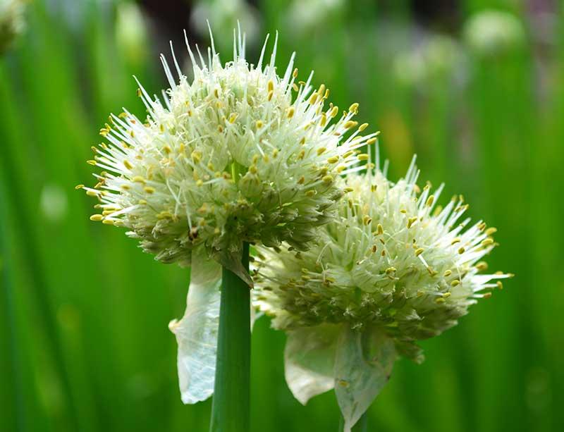 Blomma av piplök