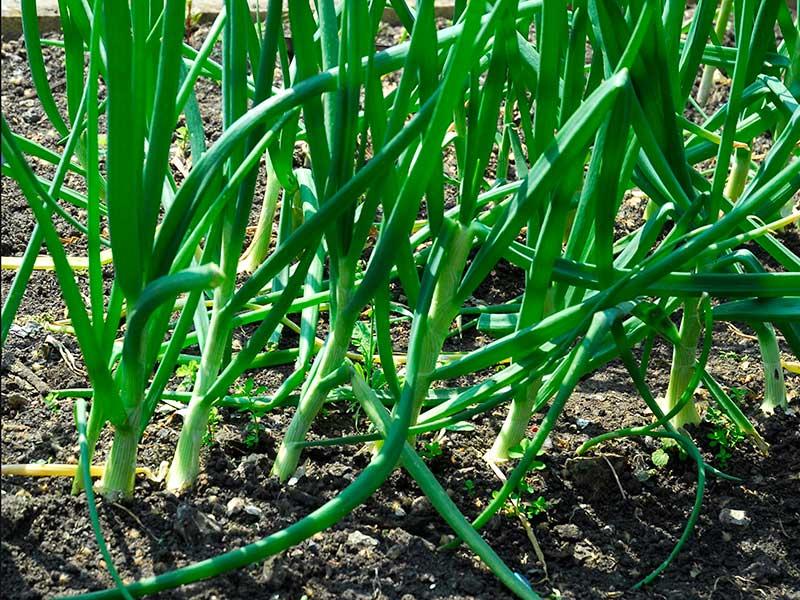 Salladslök i odlingsbädd